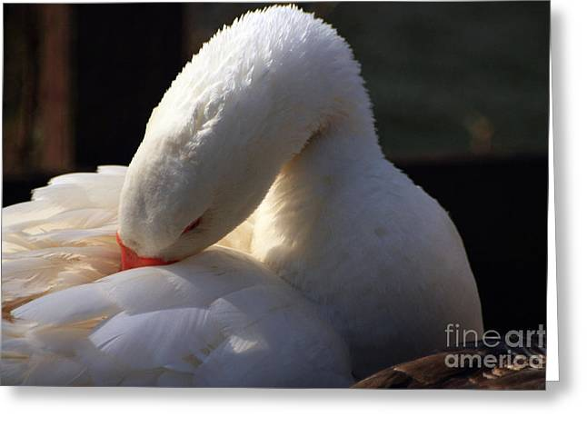 Northamptonshire Greeting Cards - Preening Goose Greeting Card by Jeremy Hayden