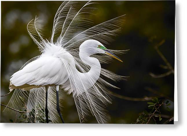 Egrets Greeting Cards - Pomp and Circumstance Greeting Card by Mike Lang