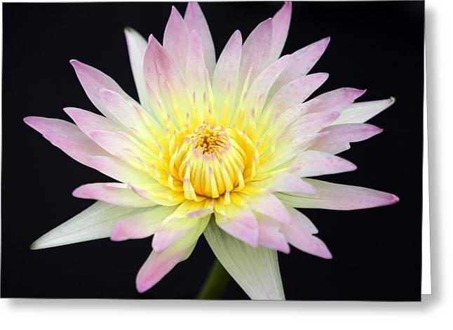 Florida Flowers Greeting Cards - Pretty Pink and Yellow Water Lily Greeting Card by Sabrina L Ryan