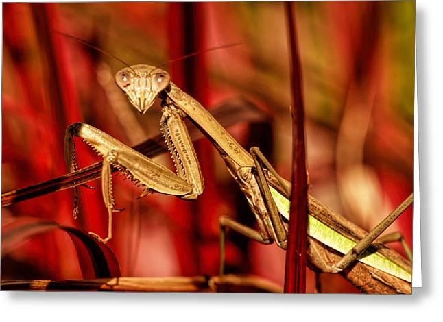 Butterfly Prey Greeting Cards - Preying Mantis  Greeting Card by Geraldine Scull
