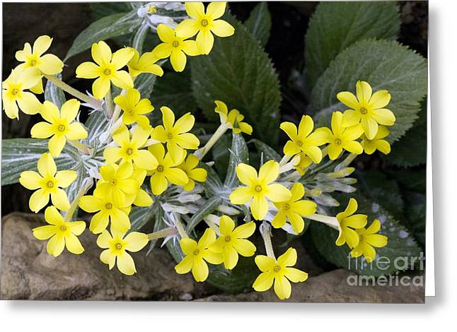 Rosette Greeting Cards - Primula Verticillata Flowers Greeting Card by Bob Gibbons