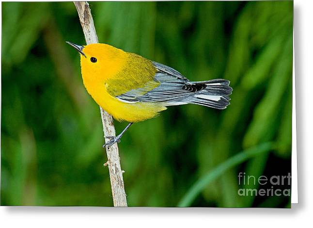 Warbler Greeting Cards - Prothonotary Warbler Greeting Card by Anthony Mercieca