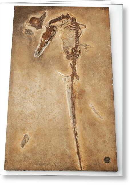 Pterosaur Fossil Greeting Card by Ucl, Grant Museum Of Zoology