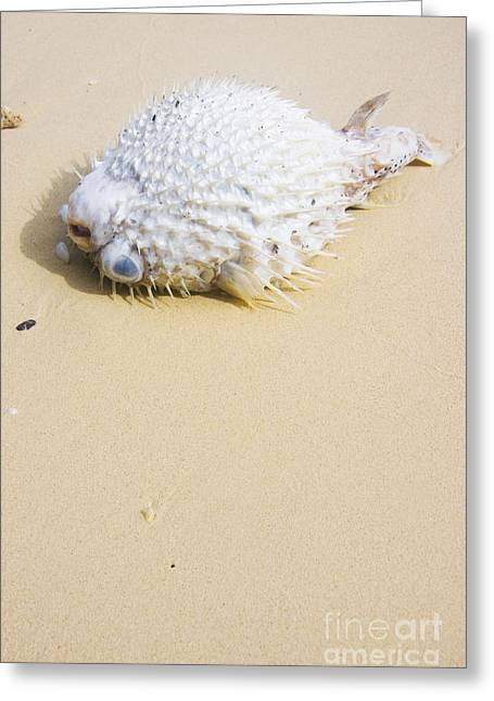 Puffed Out Puffer Fish Greeting Card by Jorgo Photography - Wall Art Gallery