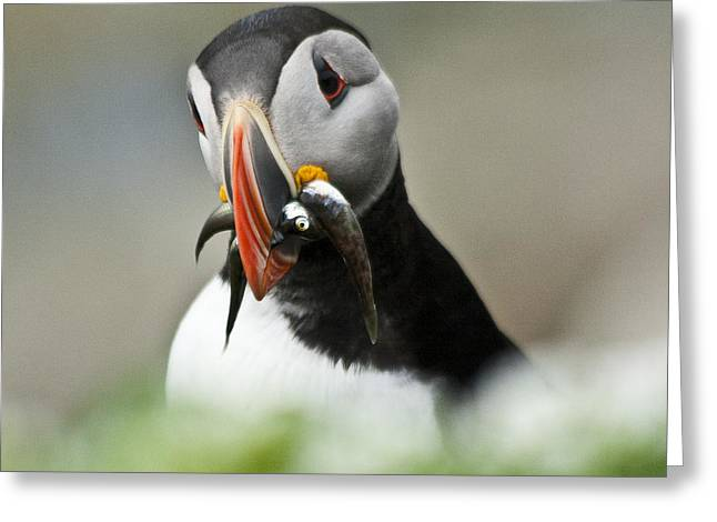 Aquatic Bird Greeting Cards - Puffin with fish Greeting Card by Heiko Koehrer-Wagner