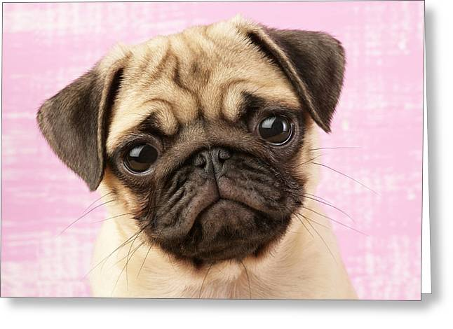 Puppies Photographs Greeting Cards - Pug Portrait Greeting Card by Greg Cuddiford