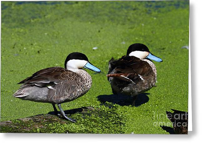 Anatinae Greeting Cards - Puna Teal Greeting Card by James Brunker