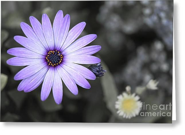 Purple Daisy Greeting Card by Design Windmill