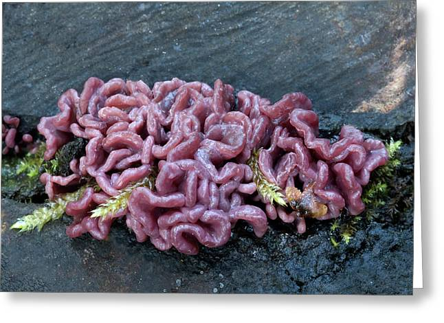 Purple Jellydisc Fungus Greeting Card by Nigel Downer