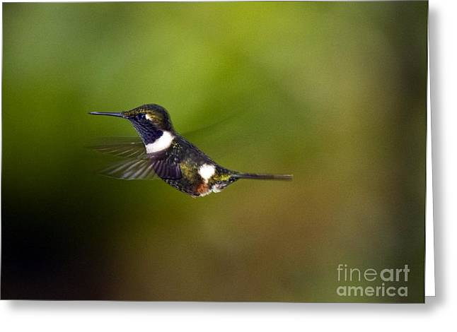 Andean Greeting Cards - Purple-throated Woodstar Greeting Card by Bob Gibbons