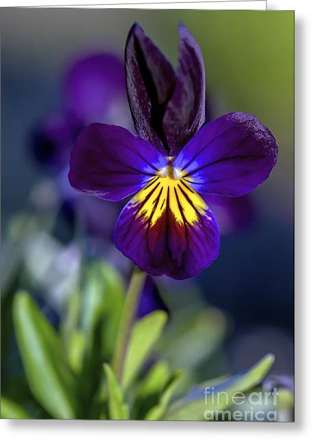 Johnny Jump Up Pansy Greeting Cards - Purple Viola Greeting Card by Sharon  Talson