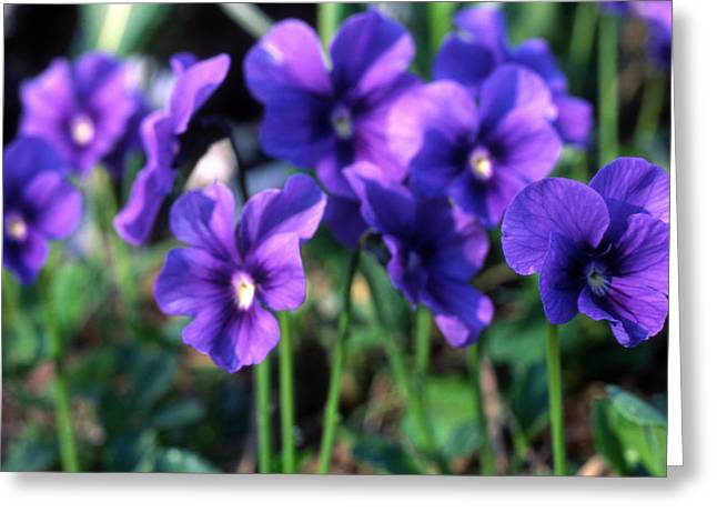Reserve Greeting Cards - Purple Wild Flowers Greeting Card by Unknown