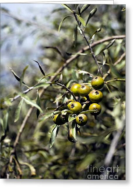 Weeping Greeting Cards - Pyrus Salicifolia Pendula Greeting Card by Dr. Keith Wheeler