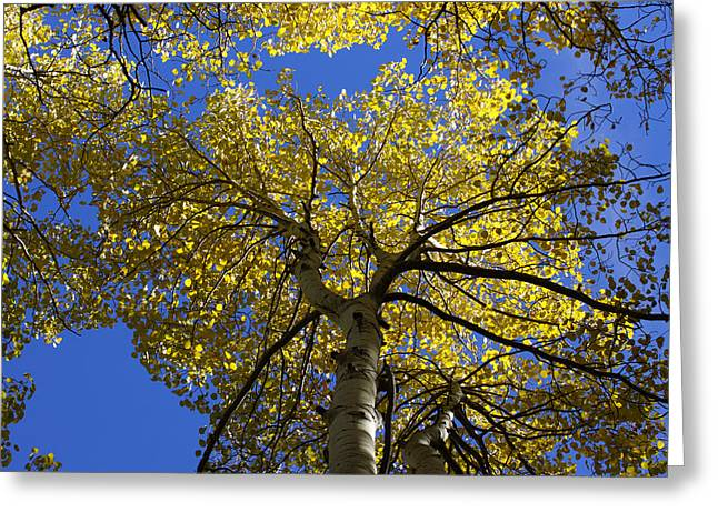 Trembling Greeting Cards - Quaking Aspens Greeting Card by Ernie Echols