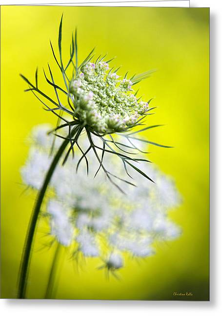 Daucus Greeting Cards - Queen Annes Lace Flower Greeting Card by Christina Rollo