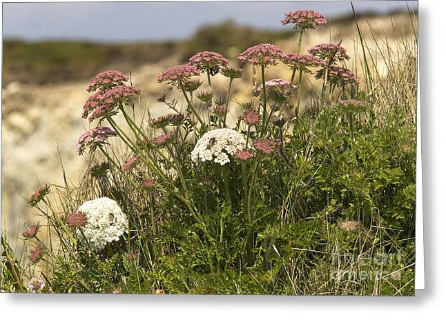 Carota Greeting Cards - Queen Annes Lace Daucus Carota Greeting Card by Bob Gibbons