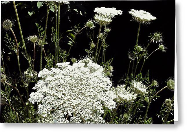 Carota Greeting Cards - Queen Annes Lace Greeting Card by Michelle Calkins