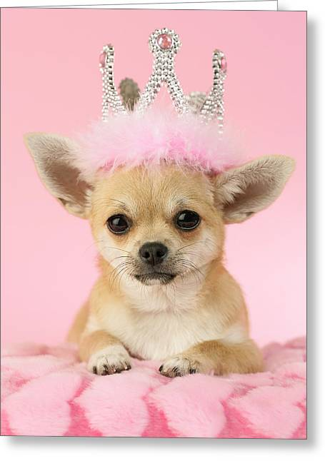 Chihuahuas Greeting Cards - Queen Chihuahua Greeting Card by Greg Cuddiford