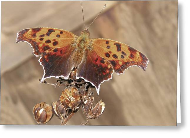 Question Mark Greeting Cards - Question Mark Butterfly  Greeting Card by David and Carol Kelly