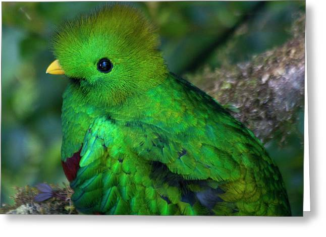 Tail Feather Greeting Cards - Quetzal Greeting Card by Heiko Koehrer-Wagner