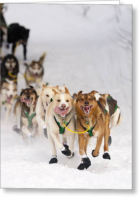 Willow Lake Greeting Cards - Quinn Iten Lead Dogs Running On Long Greeting Card by Jeff Schultz