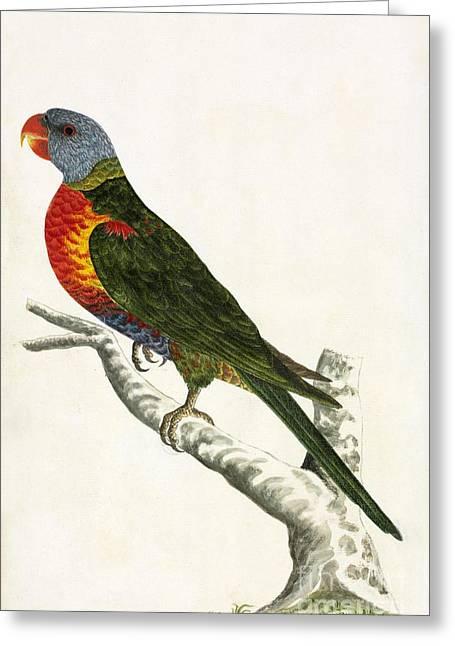 Rainbow Lorikeets Greeting Cards - Rainbow Lorikeet, 18th Century Greeting Card by Natural History Museum, London