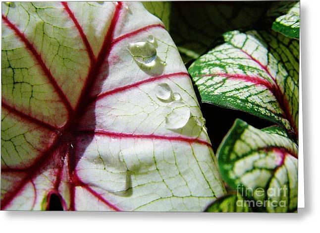 Moisture On Plants Photographs Greeting Cards - Raindrops On Caladium Leaf Greeting Card by D Hackett