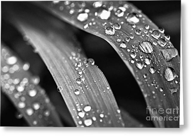 Dew Greeting Cards - Raindrops on grass blades Greeting Card by Elena Elisseeva