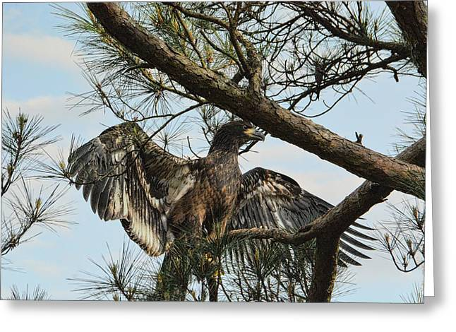 Eaglet Greeting Cards - Ready to Fledge Greeting Card by Jai Johnson
