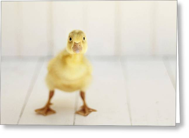 Duck Greeting Cards - Ready to Rumble Greeting Card by Amy Tyler
