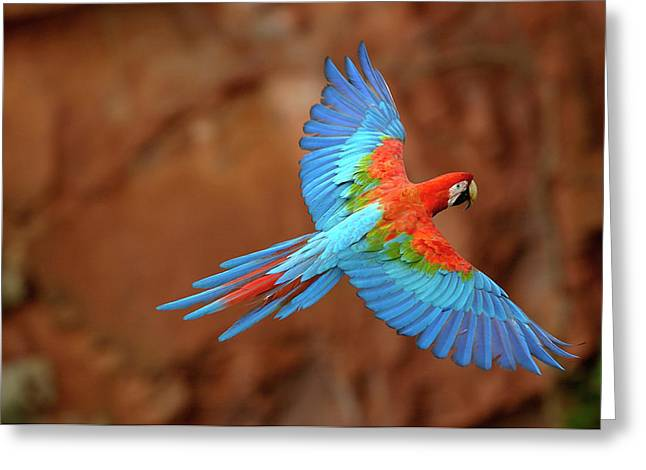 Macaw Greeting Cards - Red And Green Macaw Flying Greeting Card by Pete Oxford