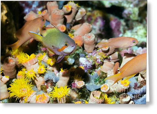 Brightly Colored Fish Greeting Cards - Red Cheeked Anthias And Coral Greeting Card by Georgette Douwma