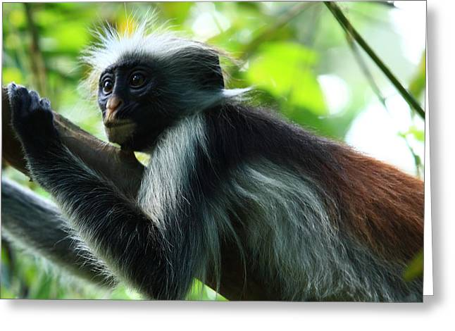Aidan Moran Photography Greeting Cards - Red Colobus Monkey Greeting Card by Aidan Moran