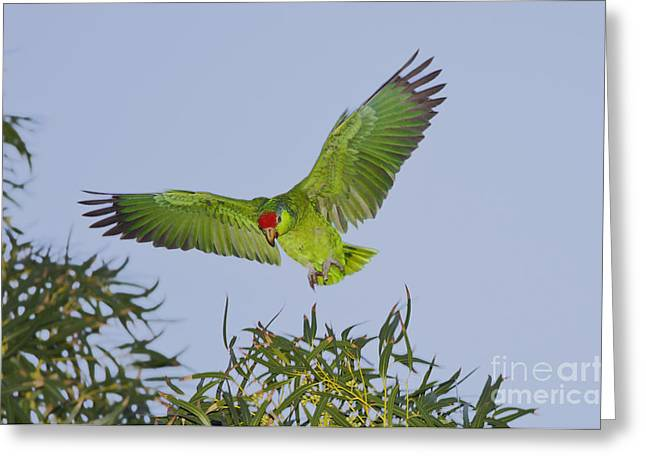 Amazon Parrot Greeting Cards - Red-crowned Parrot Greeting Card by Anthony Mercieca