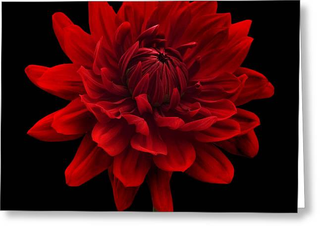 Sun Room Digital Art Greeting Cards - Red Dahlia Flower against Black Background Greeting Card by Natalie Kinnear
