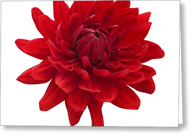 Natalie Kinnear Greeting Cards - Red Dahlia Flower against White Background Greeting Card by Natalie Kinnear
