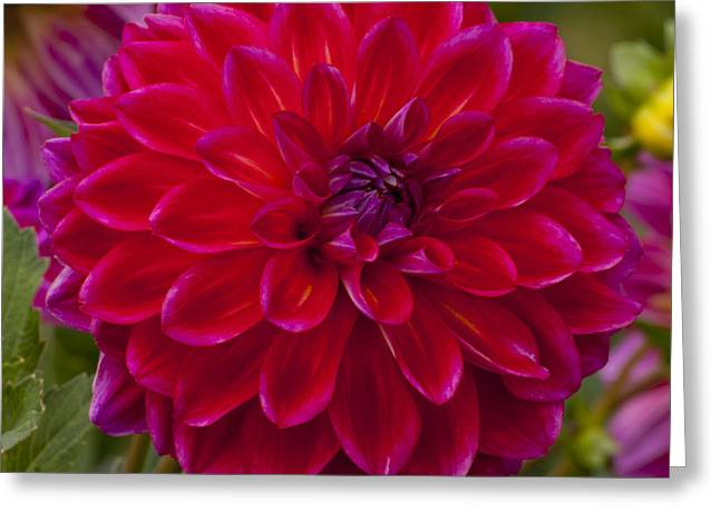 Red Greeting Cards - Red Dahlia Greeting Card by Mandy Judson