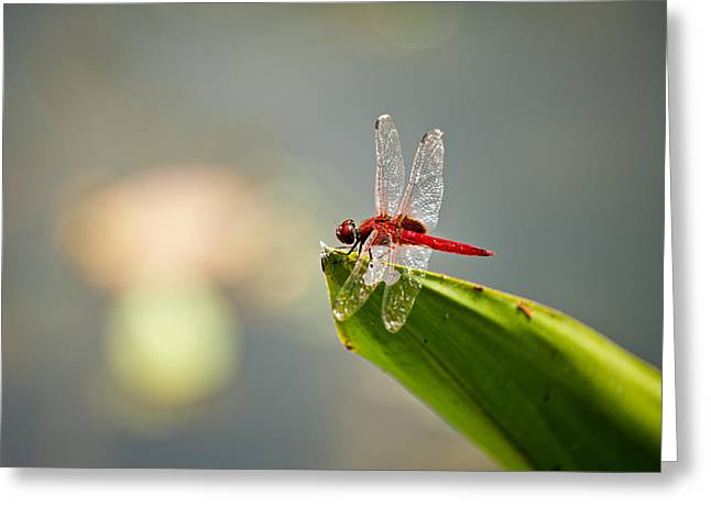 Dragon Flies Photographs Greeting Cards - Red dragonfly Greeting Card by Ulrich Schade
