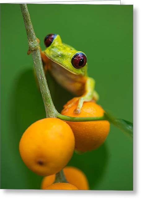 Tree Frog Greeting Cards - Red-eyed Tree Frog Agalychnis Greeting Card by Panoramic Images