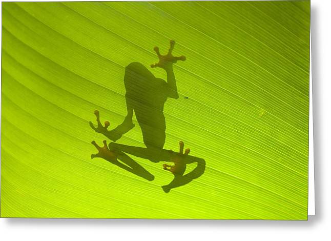 Neotropics Greeting Cards - Red-eyed tree frog Greeting Card by Science Photo Library