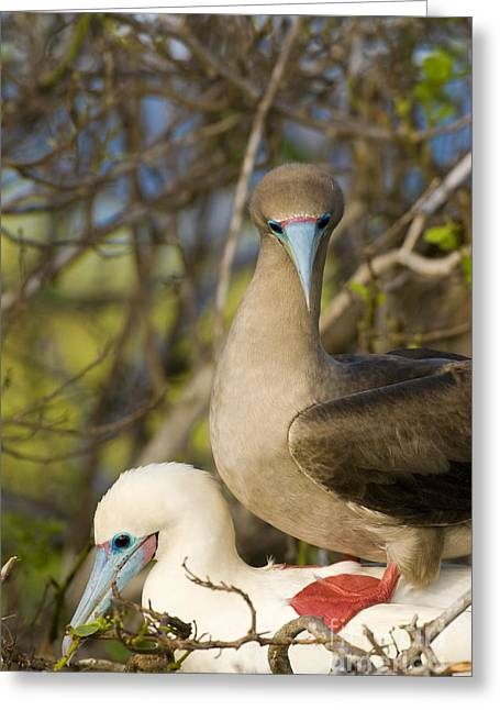 Brown Booby Greeting Cards - Red-footed Boobies Mating Greeting Card by William H. Mullins