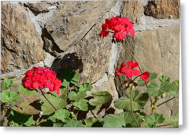 Red Geraniums Greeting Cards - Red Geraniums Greeting Card by Kathy Franklin
