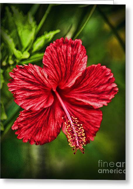 Sunlight On Flowers Greeting Cards - Red Hibiscus Greeting Card by Wendy Townrow