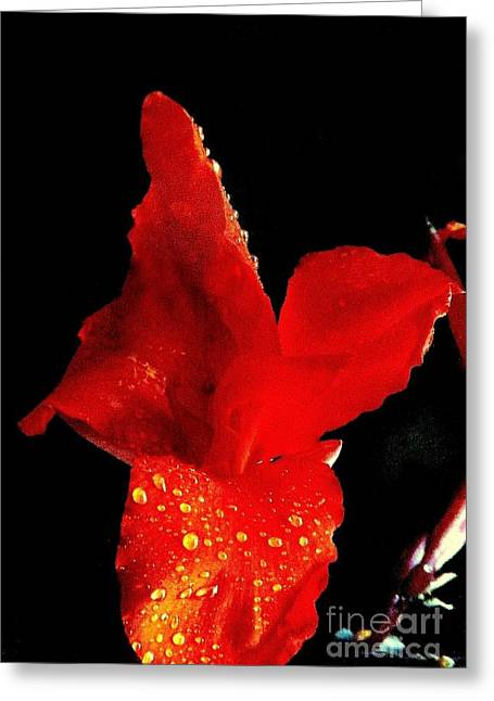 Canna Lilly Stretched Canvas Greeting Cards - Red Hot Canna Lilly Greeting Card by Michael Hoard
