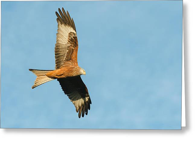 Kite Greeting Cards - Red Kite Greeting Card by Andy Astbury