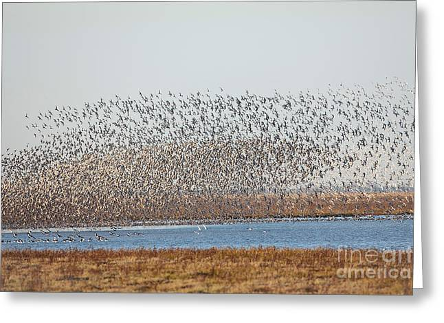 Red Falcon Greeting Cards - Red Knot Flock Greeting Card by Thomas Hanahoe