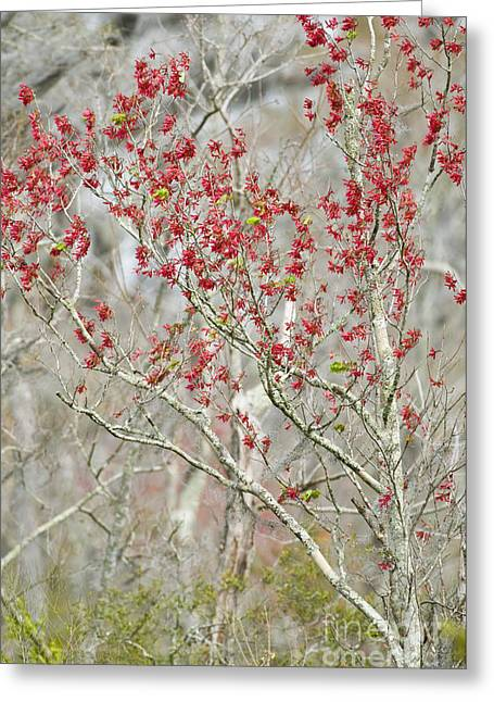 Red Maple In Spring Greeting Card by William H. Mullins