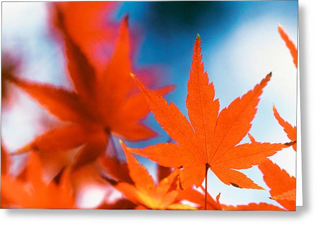 Focus On Foreground Greeting Cards - Red Maple Leaves Greeting Card by Panoramic Images