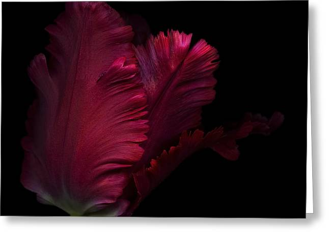 Isolated Against Black Background Greeting Cards - Red parrot tulip  Greeting Card by Oscar Gutierrez