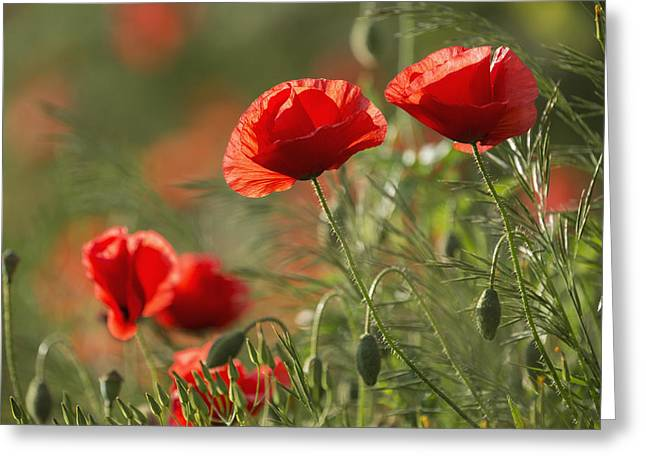 Close Focus Nature Scene Greeting Cards - Red Poppy _papaver Rhoeas__ Upper Rhine Greeting Card by Carl Bruemmer